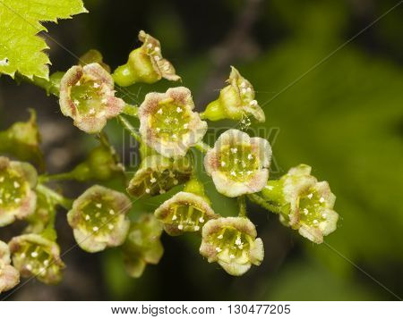 Flowers of red currant Ribes rubrum on branch with bokeh background macro selective focus shallow DOF