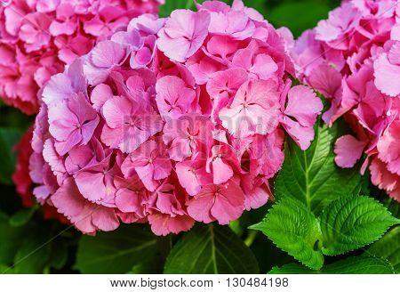 Hydrangea common names hydrangea or hortensia (Hydrangea macrophylla)