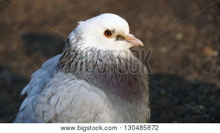 Grey dove. Feral Pigeon.