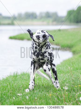 cute dog shaking off water after swimming in al river or a lake