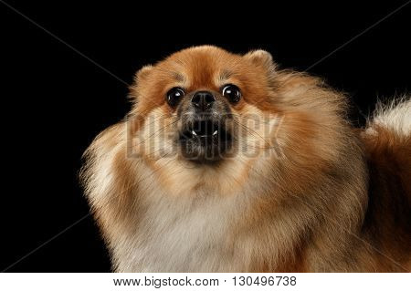 Closeup Portrait of Barking Angry Red Pomeranian Spitz Dog isolated on Black Background Front view