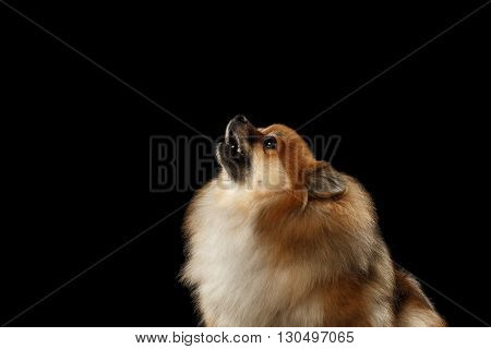 Closeup Portrait of Red Pomeranian Spitz Dog howls isolated on Black Background