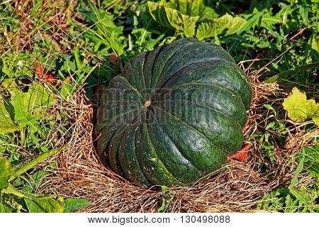 Big green pumpkin on a garden bed taken closeup.