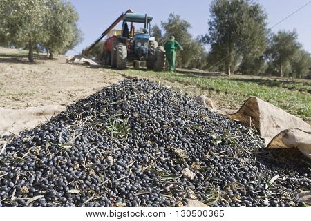 Jaen Spain - January 2008 23: Olives accumulated in a sack in the soil during the compilation of the olive campaign in winter take in Jaen Spain
