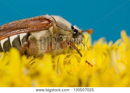 huge chafer climbed into the yellow flower on sky