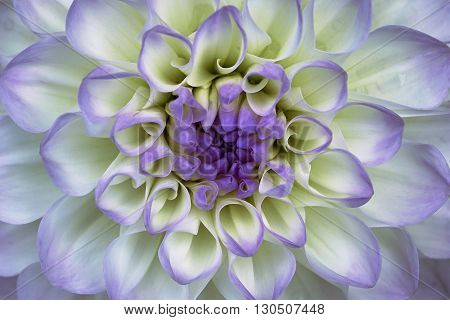 Dahlia flower closeup. Macro. It can be used in website design and printing. Also good for designers. Lilac white.