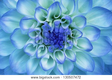 Dahlia flower closeup. Macro. It can be used in website design and printing. Also good for designers. Blue cyan.