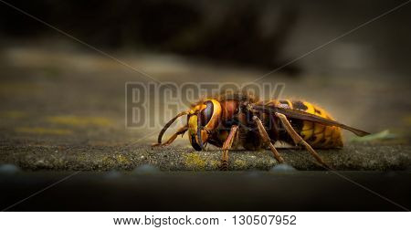 European Hornet crawling on the ground at eye level