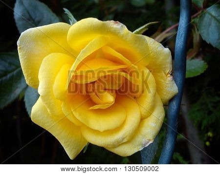 bright yellow rose with velvet texture showing vibration of life