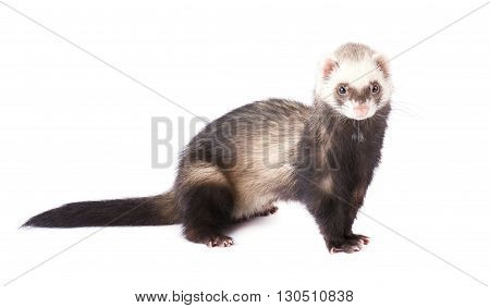 Cute ferret isolated on a white background