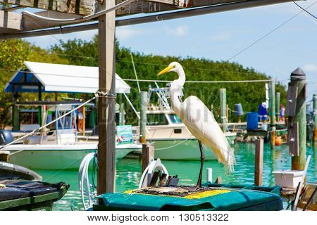 great white egret in port of Islamorada, Florida Keys. Waiting for fish at Robbie's Marina.