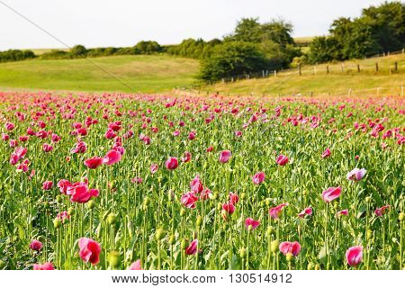 Pink blooming poppy, huge field of blossoming flowers on sunny summer day