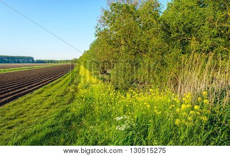 Colorful yellow and white flowering wild plants in a natural field edge next to a field with straight potato ridges. It's a sunny day in the spring season.