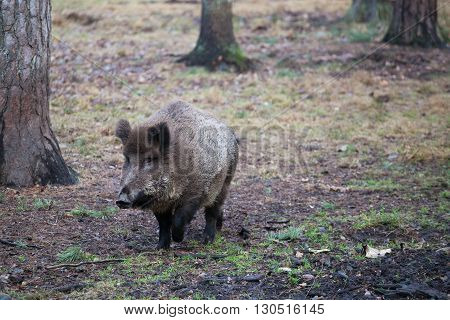 Wild boar running in the woods among the trees