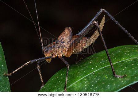 Katydid, Katydid of Borneo, Close-up of Katydid