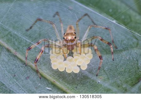 Jumping Spider with Eggs., Jumping Spider of Borneo with egg sac,