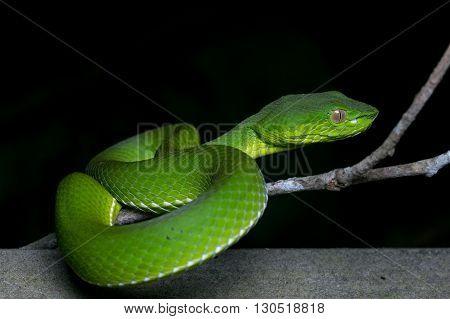 Pit Viper of Borneo , Green pit viper , Snake