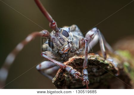 long horn beetle , Close-up of long horn beetle