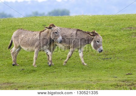 Two grey donkey playing on the meadow