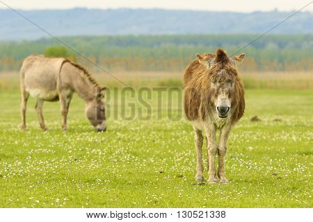 Two donkey graze on the floral meadow