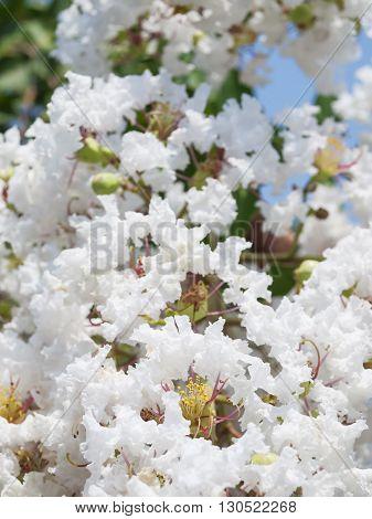 White Lagerstroemia Indica Flower