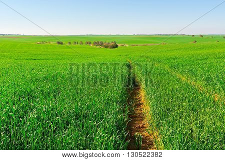 Green Fields in Israel in the Spring