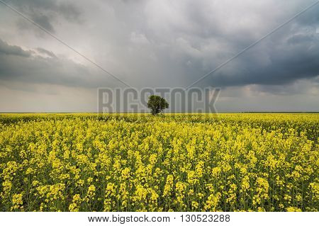 isolated tree in the chain of rape under cloudy sky