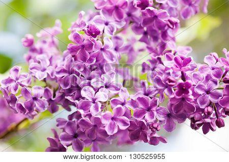 Blooming purple violet flowers. Lilac flower  landscape. soft focus