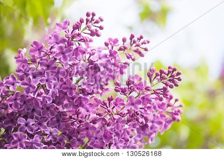 Bunch of lilac flower. Violet blooming flowers background.