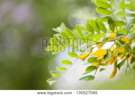 Blooming Caragana Arborescens, Siberian peashrub pea-tree. Acacia tree branch with green leaves and yellow flowers Plant in the park