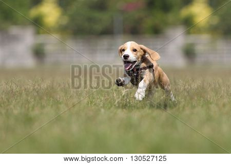 The dog beagle puppy running on the grass.