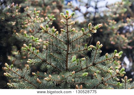 Budding spruce tree. Spring forest landscape with evergreen tree branch, buds, needles. macro view