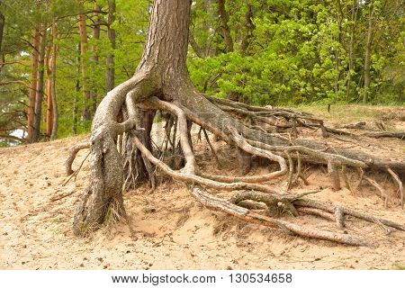Gnarled roots of pine tree in forest.