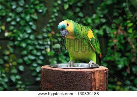 Single Blue-Fronted Parrot Amazon (Amazona aestiva) closeup