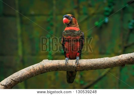 Single dusky lory parrot (Pseudeos fuscata) on a tree branch
