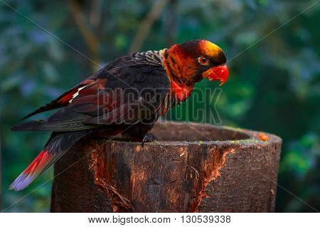 Single dusky lory (Pseudeos fuscata) sitting  on a platform