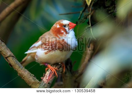 Zebra finch (Taeniopygia guttata) sitting on a branch