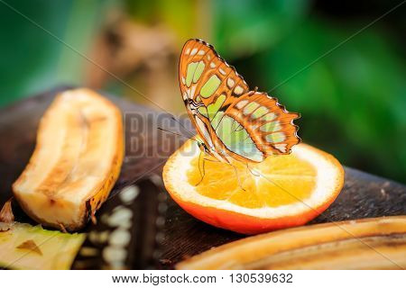 A single tropical butterfly eating perched on orange slice
