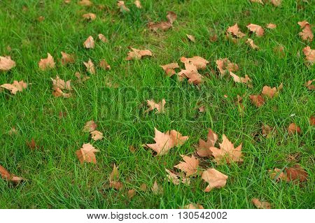 Fallen autumn leaves on green grass background
