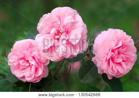 Garden pink large fragrant roses on a green background