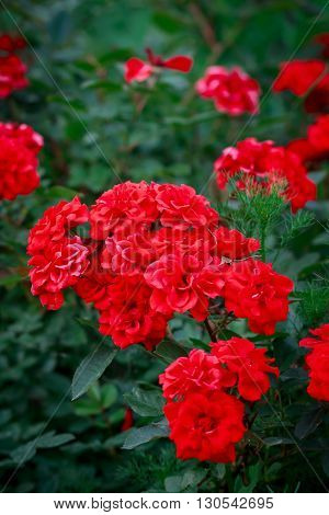 A bunch of many red garden roses