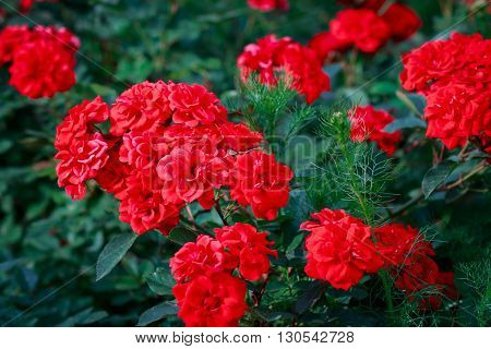 A bunch of red garden roses in park