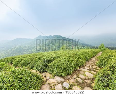 green tea plantation with stone path in cloudy