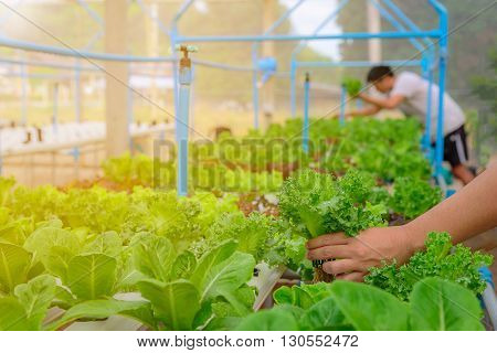 Farmer collect green hydroponic organic salad vegetable in farm Thailand. Selective focus