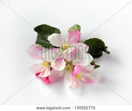 Blossoms of Apple trees with white and pink petals on white background. (not isolate)
