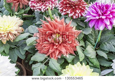 Dahlias with green plants in pots and in park.