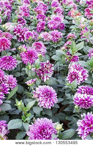 Pink dahlia plants in pots in garden being grown organically.