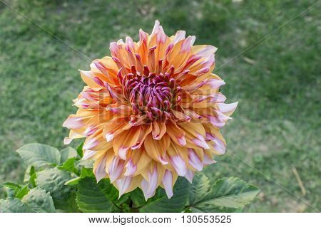 Unique and exotoc dahlia flower with stripes