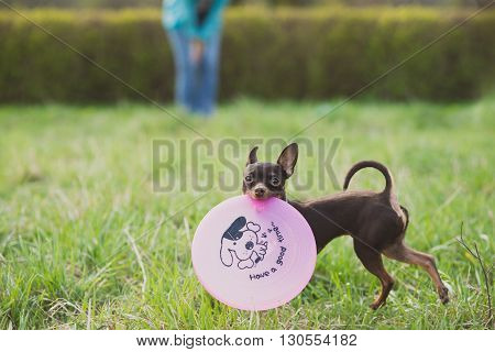 cute russian toy terrier dog holding frisbee and look to camera.
