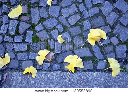 Yellow Ginkgo leaves on a blue cobblestone path